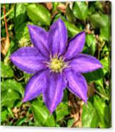 Glorious Glowing Clematis Canvas Print