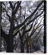 Glorious Live Oaks With Framing Canvas Print