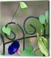Glorious Morning Glory Canvas Print