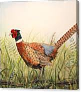 Glorious Pheasant-1 Canvas Print