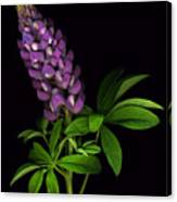 Glorious Purple Lupine Canvas Print