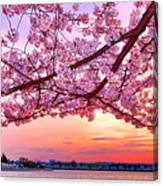 Glorious Sunset Over Cherry Tree At The Jefferson Memorial  Canvas Print