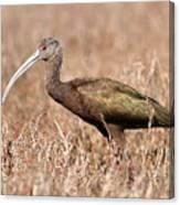 Glossy Ibis . 7d5045 Canvas Print