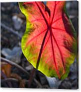 Glowing Coladium Leaf Canvas Print