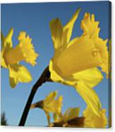 Glowing Daffodil Flowers Floral Art Baslee Troutman Canvas Print