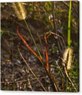 Glowing Foxtails Canvas Print