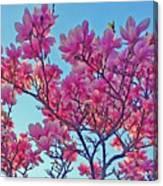 Glowing Magnolia Canvas Print