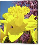 Glowing Yellow Daffodils Art Prints Pink Blossoms Spring Baslee Troutman Canvas Print