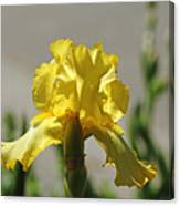 Glowing Yellow Iris Canvas Print