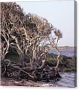 Gnarled Oak Trees Canvas Print