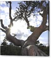 Gnarled Pine Tree And Sun Canvas Print