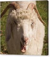 Goat Eating Canvas Print