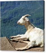 Goat Enjoy The Sun Canvas Print