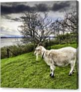 Goat Enjoying The View Canvas Print