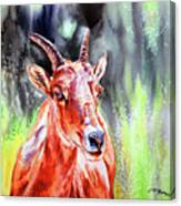 Goat From The Mountain Canvas Print