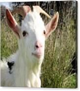 Goat Portrait Canvas Print