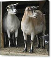 Goat Trio Canvas Print