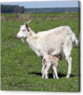 Goat With Just Born Little Goat Spring Scene Canvas Print