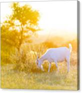 Goats Grazing At Sunset Canvas Print