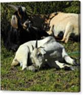 Goats Lying Under A Bush Canvas Print
