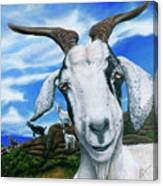 Goats Of St. Martin Canvas Print