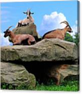 Goats On The Rock Canvas Print