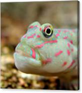 Pink Spotted Watchman Goby Canvas Print