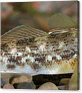 Goby Fish Canvas Print