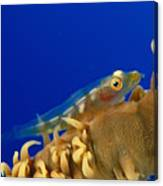 Goby On Wire Coral Canvas Print