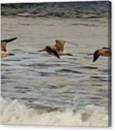 Bar Tailed Godwits Canvas Print