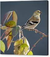 Gold Finch Canvas Print