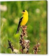 Gold Finches-4 Canvas Print