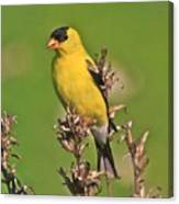 Gold Finches-6 Canvas Print