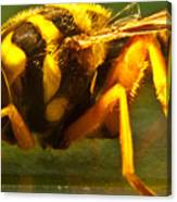 Gold Syrphid Fly Canvas Print