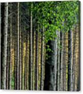 Golden Backlight Canvas Print