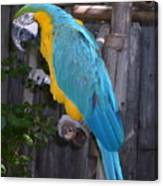Golden Blue Macaw Canvas Print