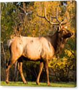 Golden Bull Elk Portrait Canvas Print