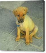 Golden Cunucu Puppy In Aruba Canvas Print
