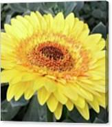 Golden Gerbera Daisy Canvas Print