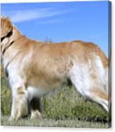 Golden Labrador - Cheemo Canvas Print