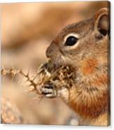 Golden-mantled Ground Squirrel Eating Prickly Spine Canvas Print
