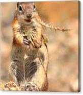 Golden-mantled Ground Squirrel With A Prickly Bite Canvas Print