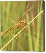 Golden Marsh Dragonfly Canvas Print