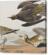 Golden Plover Canvas Print