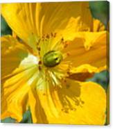 Golden Poppy Expose Canvas Print