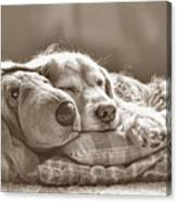 Golden Retriever Dog Sleeping With My Friend Sepia Canvas Print