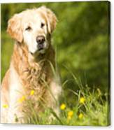 golden Retriever in garden Canvas Print