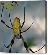 Golden Silk Spider 2 Canvas Print