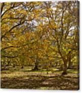 Golden Walnut Orchard II Canvas Print