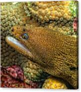 Goldentail Moray Canvas Print